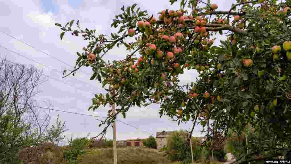 Яблоневая ветка под тяжестью плодов наклонилась над проезжей частью улицы Осипова