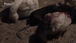Pakistani City Struggles To Cope With Rat Infestation