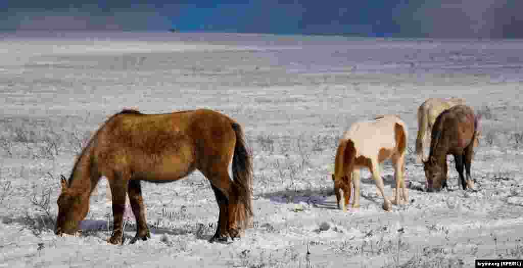 В табуне преобладают чистокровные лошади башкирской и украинской пород, а также их помеси с другими известными породами. Густая шерсть защищает животных от зимних холодов