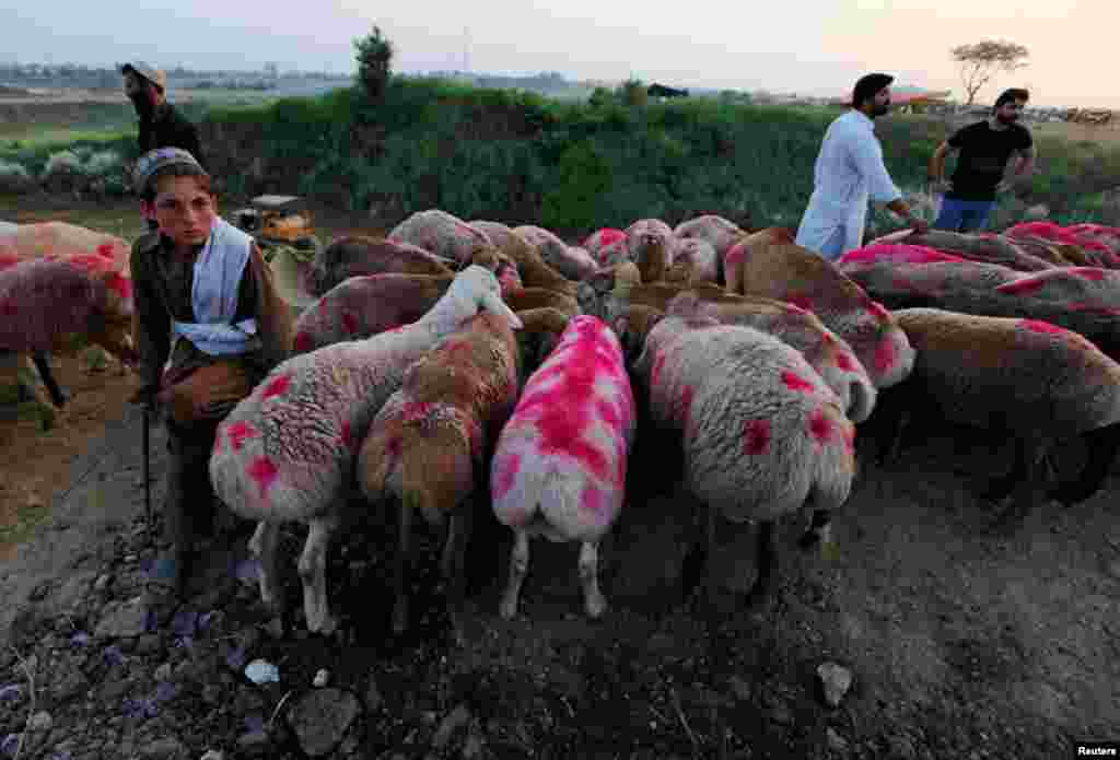A Pakistani boy waits to sell his sheep at a market in Islamabad. Pakistanis are observing Eid al-Adha on September 13, a day later than in many other countries.