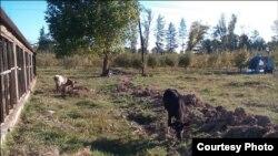 На территории НИИ мирно пасутся коровы. Фото «Ферганы».