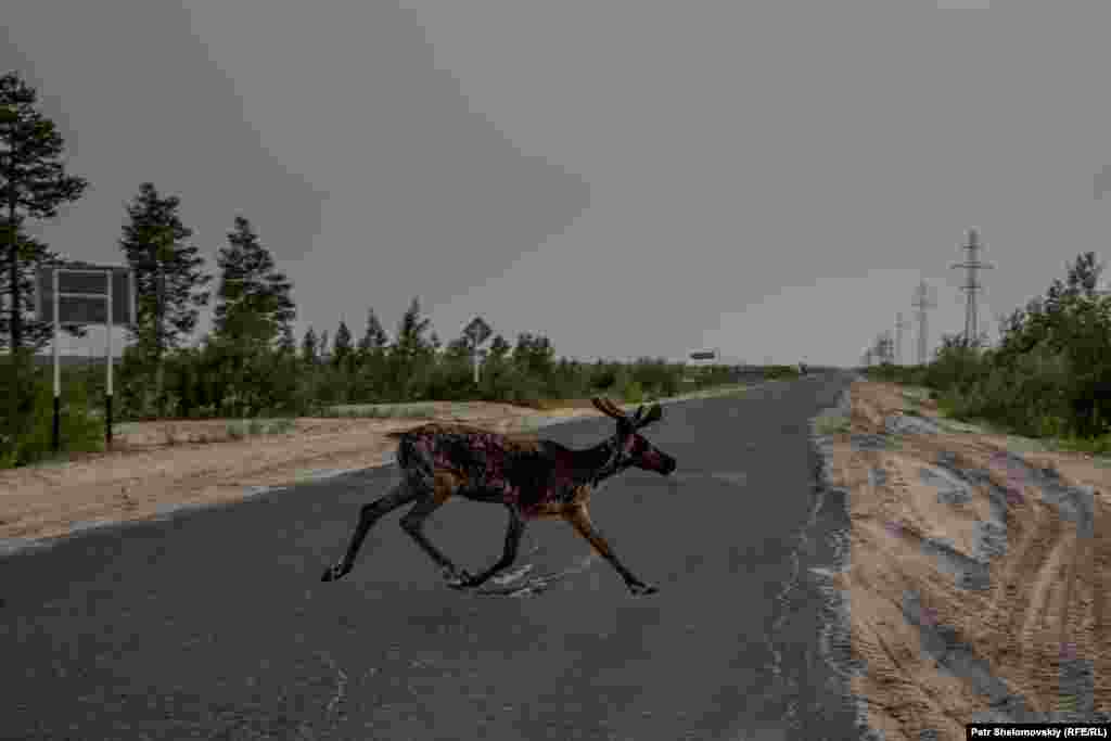 Дикий олень пересекает дорогу на земле Мултановых.