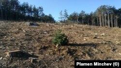 Смърч, засаден от доброволци близо до отрязано дърво от гората в местността Коджа тепе