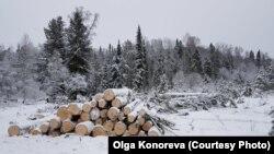 Вырубка леса в Алтайском крае. архивное фото