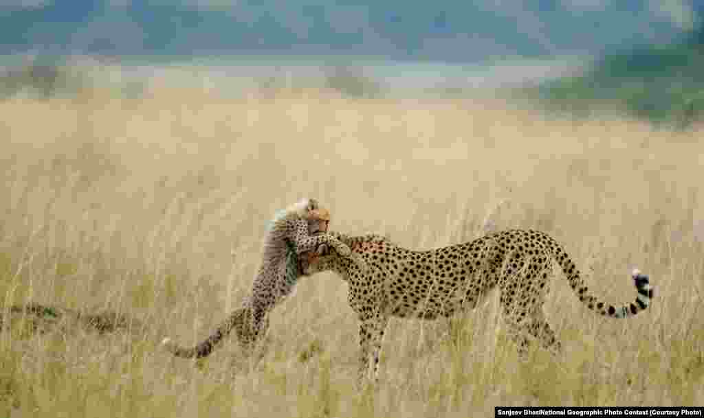 VIEWER'S CHOICE FOR NATURE: Tender Moment (Masai Mara National Reserve, Kenya) -- Every day in Mara starts with something new and different and the day ends with memorable experiences with spectacular photographs. I was very lucky of sighting and photographing Malaika, the name of this female cheetah and her cub. She is well known for her habit to jump on vehicles. She learned that from her mother, Kike, and Kike from her mother, Amber. Like her mother, she is teaching lessons to her cub. Teaching lessons means the addition of another moment for tourists. This is one of the tender moments between Malaika and her cub. I was very lucky to capture that moment. (Caption by photographer Sanjeev Bhor)