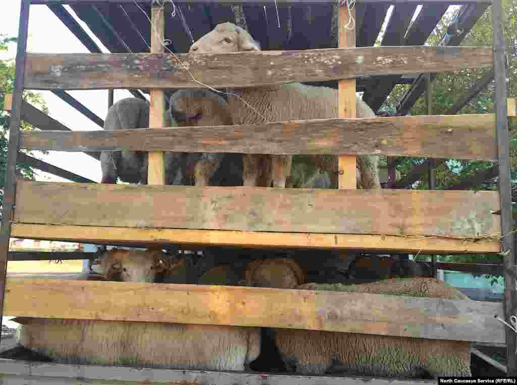 Самые ходовые в Курбан-байрам – это бараны со средним весом, например, в 20 кг. Если весят больше, то люди не хотят: мясо слишком жирное
