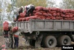 Узбекские трудовые мигранты работают на уборке картофеля в деревне Березовка Красноярского края России. 7 сентября 2015 года.