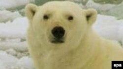 Ağ ayılar Çukotka dənizi sahili boyunca 200 kilometr yol getməyə məcbur olublar