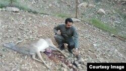 کشته شدن یک گوزن زرد کمیاب ایرانی در لرستان