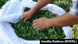 İllüstrasiya fotosu, Astarada çay yığımı