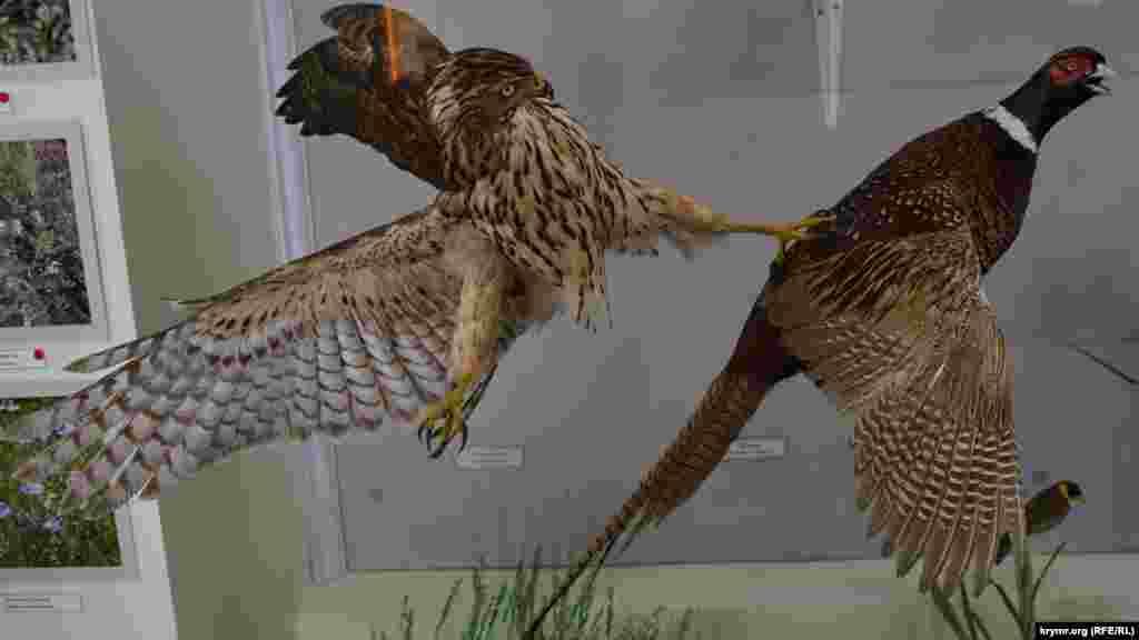Пташине розмаїття заповідника представлено 60 опудалами водоплавних, хижаків та інших видів пернатих. На фото сокіл-сапсан нападає на фазана