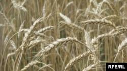 Цього року урожай зернових у Криму посередній