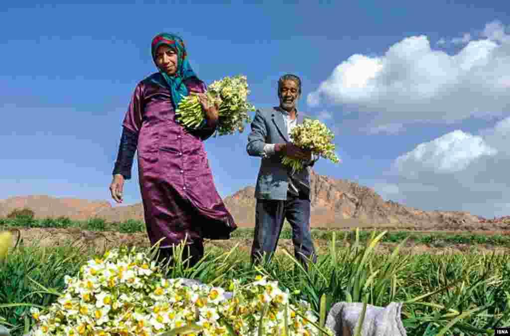 این روزها در برخی از نقاط ایران، همانند بیرجند، موقع چیدن گل نرگس فرا رسیده است.