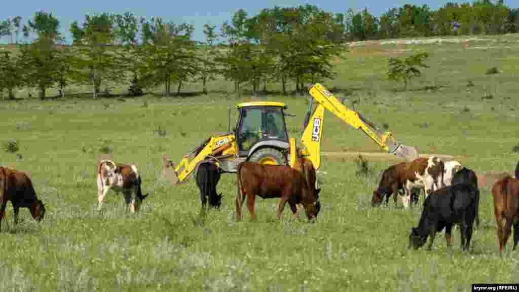 А вот работающий рядом трактор телят не раздражал