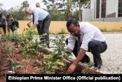 Так в Эфиопии сажали деревья