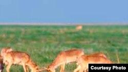 Орталық Азия даласындағы ақбөкендер.