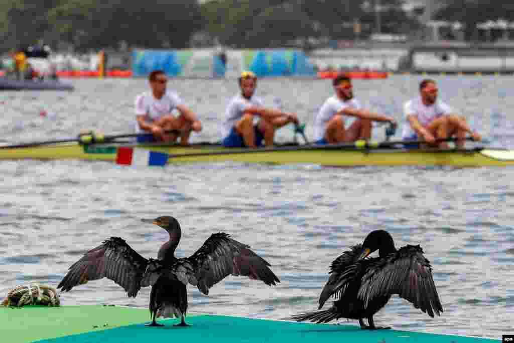Cormorants dry off their wings as the French men's four team row past.