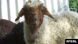 Баран, как представитель мелкого рогатого скота