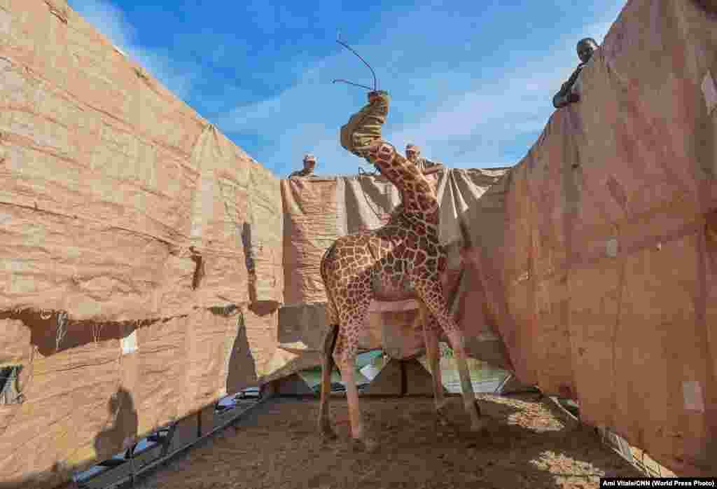 Ротшильд жирафын арнайы жасалған баржамен Кенияның батысындағы су басқан Лонгичаро аралынан әкетіп барады (3 желтоқсан, 2020 жыл). Ротшильд – жирафтың ең ұзын түрі, оның тұрқы 6 метрге жетеді. Құрып біту қаупі төніп тұрған жануар түрі. Лонгичаро бір кездері түбек болған, Баринго көлі суы көтеріліп, түбек аралға айналды. «Табиғат» категориясы бойынша бірінші орын, авторы— Ами Витале.