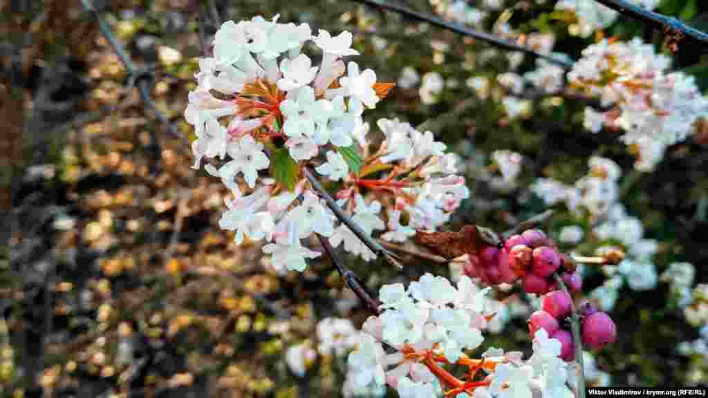 Первые цветы кустарника