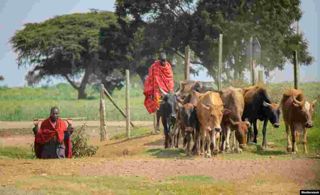Масаї живуть громадами, займаються скотарством. У середині 19-го століття землі масаїв займали велику площу – вони охоплювали майже всю Велику рифтову долину та прилеглі території. В 1911 році землі масаїв у Кенії були скорочені на 60 відсотків – британці виселили їх, щоб звільнити місце для поселенців на ранчо