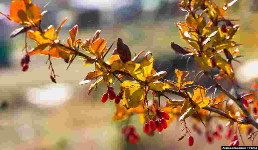 На кусте барбариса сохранились ягоды