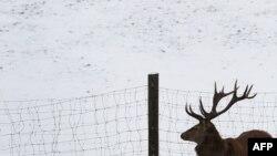 Олень в заповеднике близ города Бернбойрен. 26 января 2014 года.