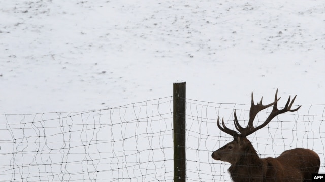A red deer stands in snow in a game reserve in Bernbeuren, Germany.