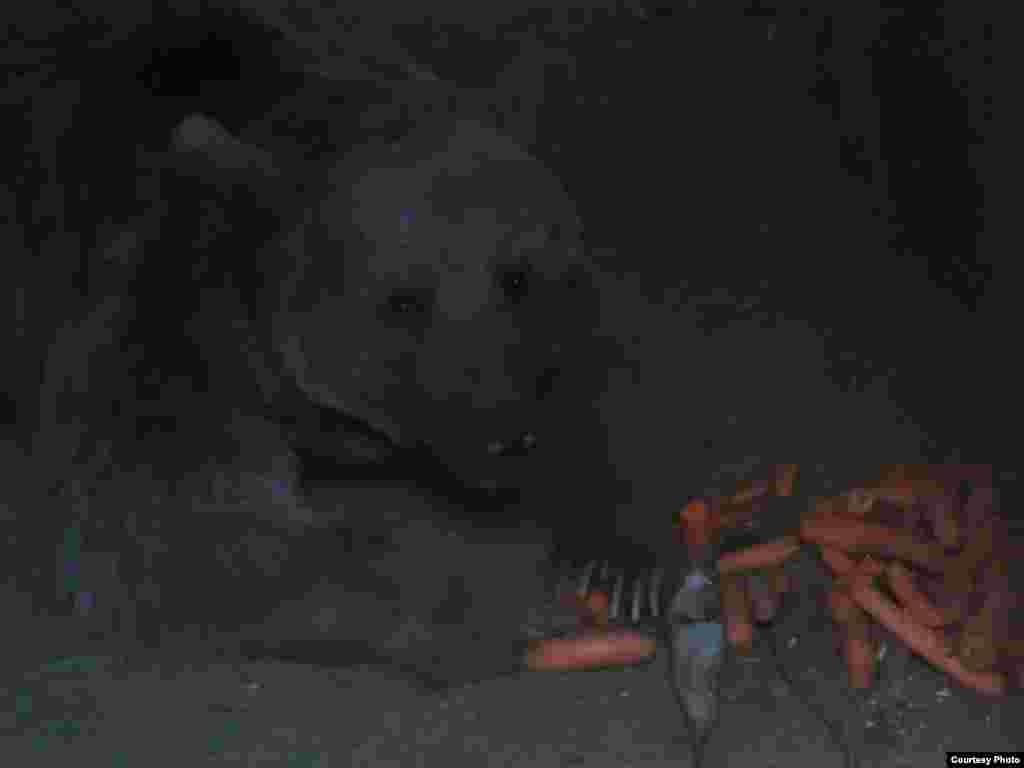 خرس در حال حاضر وضعیت عصبی مناسبی ندارد
