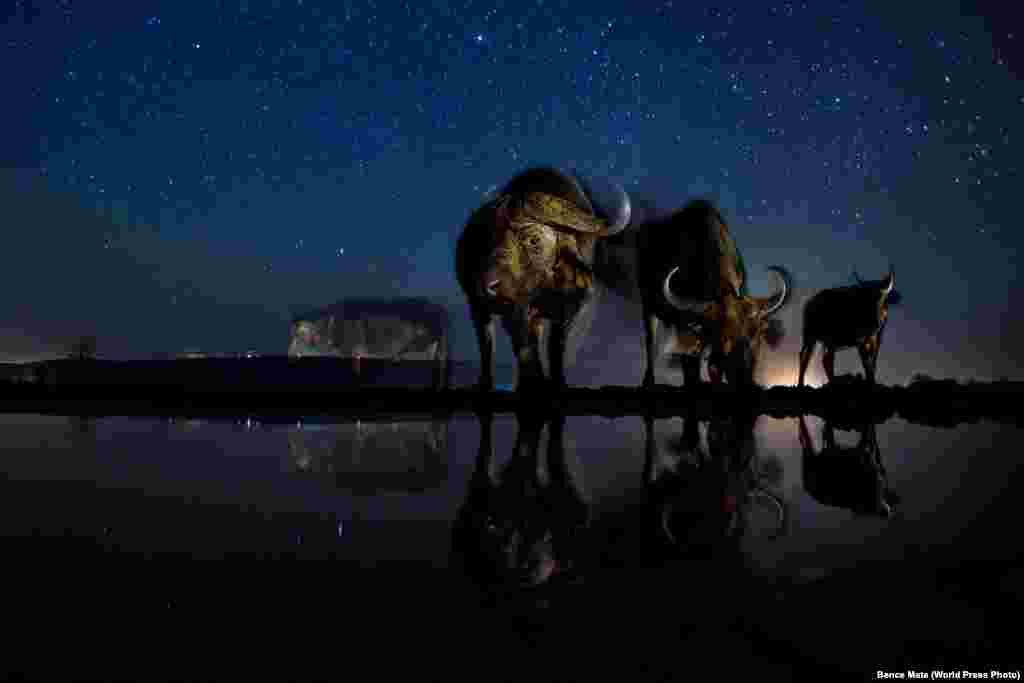 """""""Табиғат"""" категориясының үшінші орынын Бэнс Мэйт түсірген буйволдар суреті алды. Фотография таймер арқылы қашықтан түсірілген."""