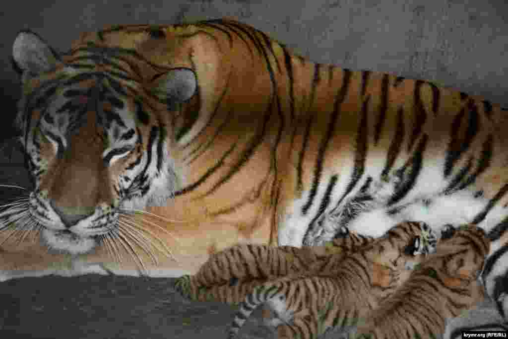Амурская тигрица кормит тигрят в парке львов «Тайган», Белогорск, 18 июня 2017 года