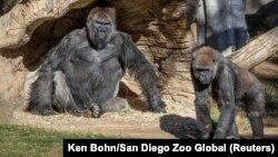 ԱՄՆ - Գորիլաները Սան Դիեգոյի կենդանաբանական այգում, 10-ը հունվարի, 2021թ.