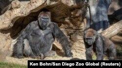 Горили во зоолошката градина во Сан Диего, Калифорнија, САД, 10 јануари 2021 година.
