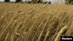 Посевы пшеницы. Иллюстративное фото.