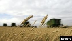 Kazakhstan -- Combine grain harvesters gather wheat at the Alibi-Ishim farm, near the village of Birlik, 26Aug2010