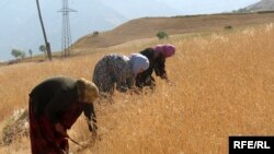 Женщины убирают урожай. Таджикистан, Рогун, 25 августа 2008 года.