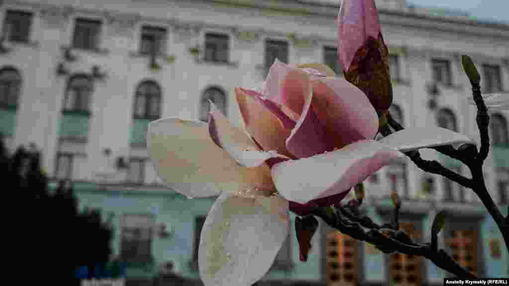 Отцветают магнолии перед зданием крымского правительства