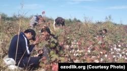 Төрткөл аудандық зейнетақы қорының қызметкерлері мақта теріп жүр. Қарақалпақстан, Өзбекстан, қазан, 2019 жыл.