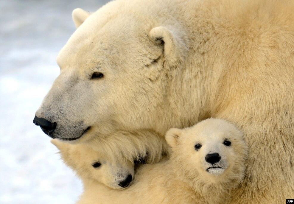 سال ۲۰۱۶ «گرمترین» سال کره زمین بود. تغییرات اقلیمی در چهل سال آینده موجب از بین رفتن یک سوم خرس های قطبی خواهد شد.