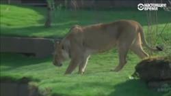 Елизавета II открыла новый вольер для львов