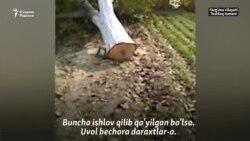 Турғун: Мева бериб турган боғларни кесиб пахтазор қилишмоқда