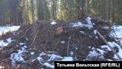 Вот что остается в лесу вместо вырубленных сосен