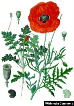 Відук (мак-самасейка) Papaver rhoeas. Köhler's Medizinal-Pflanzen