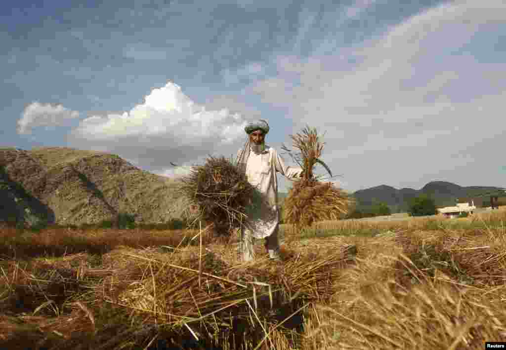 An Afghan farmer harvests wheat at his farm on the outskirts of Jalalabad Province. (Reuters/Parwiz)