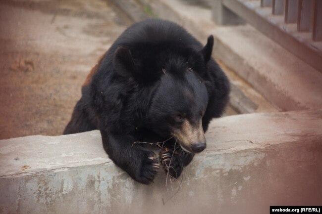 Медведь в гродненском зоопарке