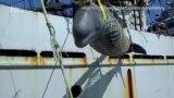 В'язні «китової в'язниці». Трагедія білух і косаток у російському Примор'ї – відео