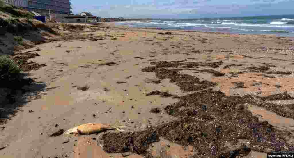 На пляж выбросило водоросли и тела мертвых азовок