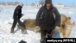 Өгіз жегіп, қамыс шабуға кетіп бара жатқан Белқопа ауылының тұрғыны. Ақтөбе облысы, Белқопа ауылы,19 ақпан 2012 жыл. (Көрнекі сурет)