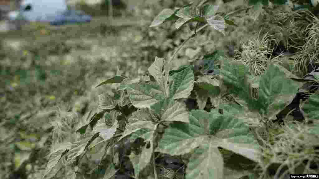Вапняковий пил на рослинах за декілька метрів від дороги. За словами місцевих жителів, під час вітряної погоди тут неможливо дихати