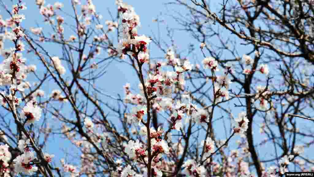Этот абрикос цветет на улице Пархоменко, что на Куликовом поле – малом микрорайоне возле проспекта Острякова